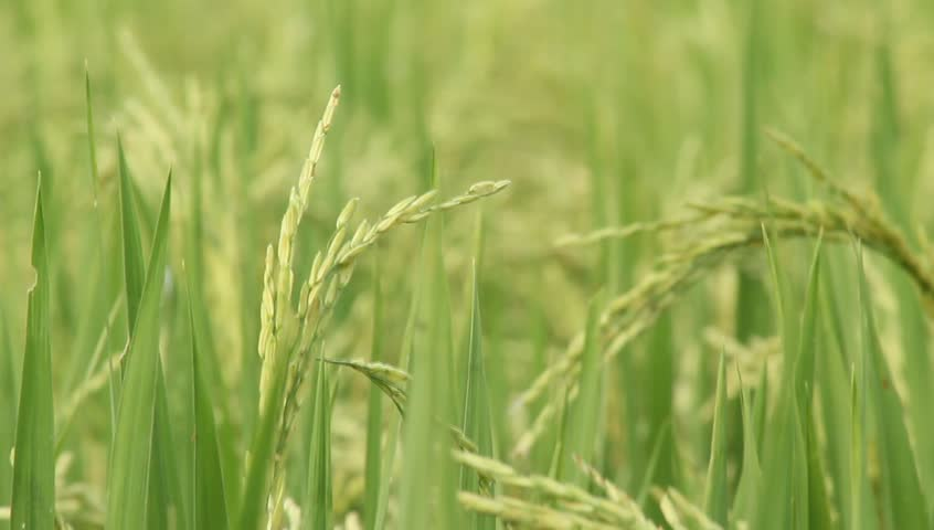 Close up rice crops is being swayed by the wind in a field with natural birds and chickens sound. | Shutterstock HD Video #26230529