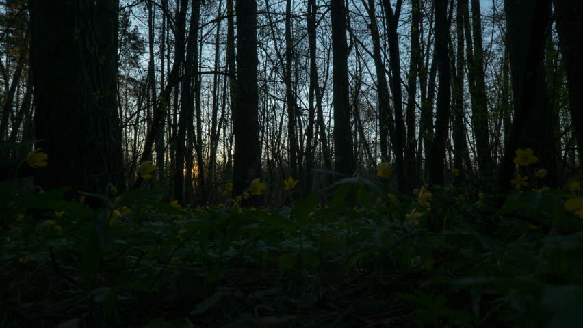 Morning in the spring forest. Sun rises over the spring forest, overgrown with yellow flowers, primroses. Natural background. Time lapse   Shutterstock HD Video #26231042