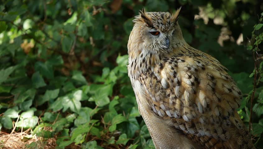 hd great horned owl - photo #29