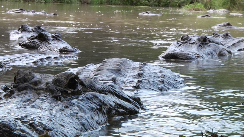 Closeup of large alligators