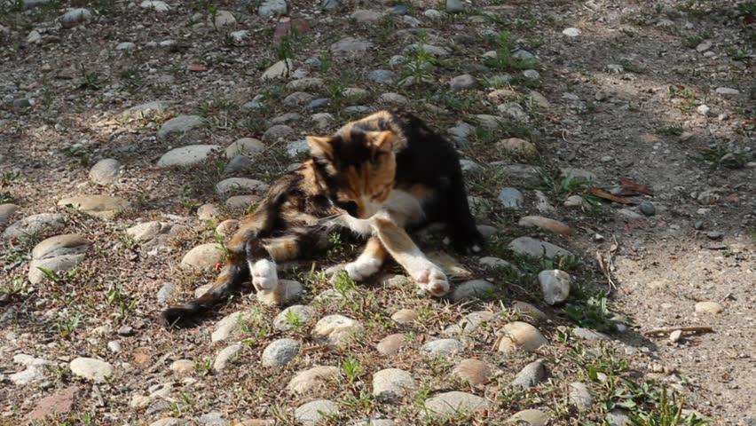 european cat licking itself - HD stock video clip