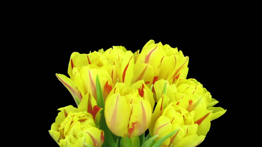 Time-lapse of opening yellow-red tulips in a vase 1b