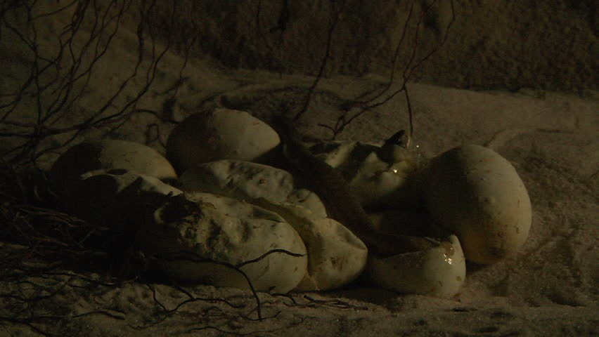 Egyptian cobra hatchlings in the dark - HD stock footage clip