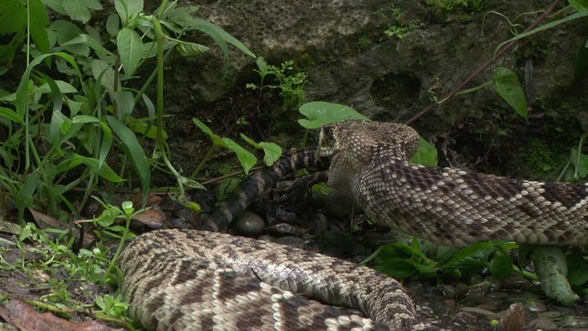 Eastern diamondback rattle snake eating hatchling alligator