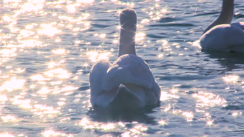 LAKE BLED, SLOVENIA-CIRCA 2011-Two white swans float on sparkling water in a lake. - HD stock footage clip