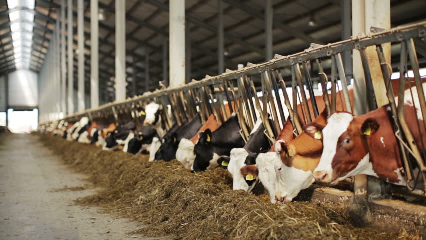 Dairy cows in the stable - HD stock video clip