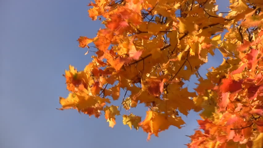 Yellow maple leaves on the wind on a sunny day - HD stock footage clip