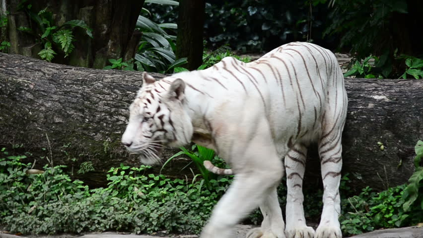 a white tiger prowling along a ridge while the camera follows