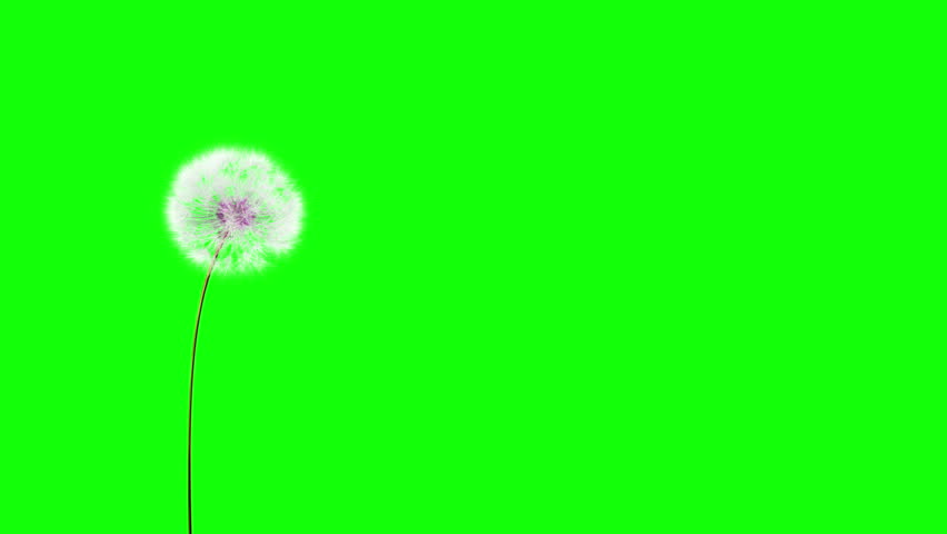 Dandelion on the wind (GreenScreen). You can change background or add graphics to this clip, using greenscreen keying. - HD stock video clip