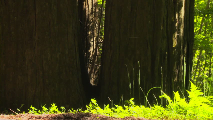 Tall grass and ferns in redwood forest - HD stock footage clip
