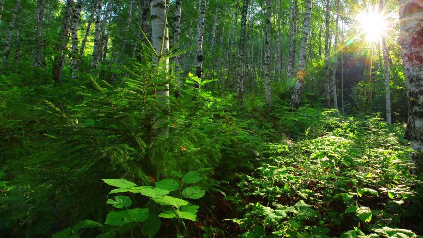 morning in a birch forest - HD stock video clip