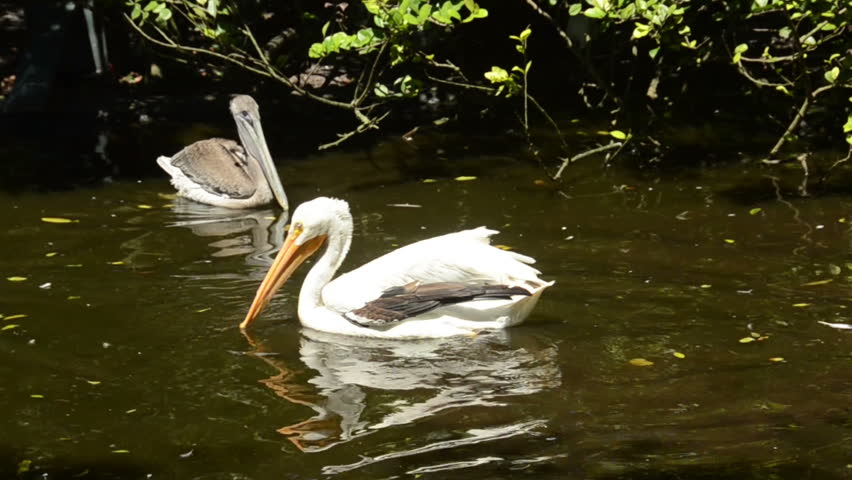 Header of American White Pelican