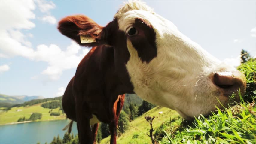 Cow grazing high mountain - HD stock video clip
