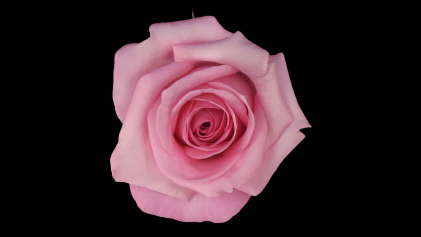 """Time-lapse of dying pink """"Blushing Akito"""" rose 7a in PNG+ format with alpha transparency channel isolated on black background, top view."""