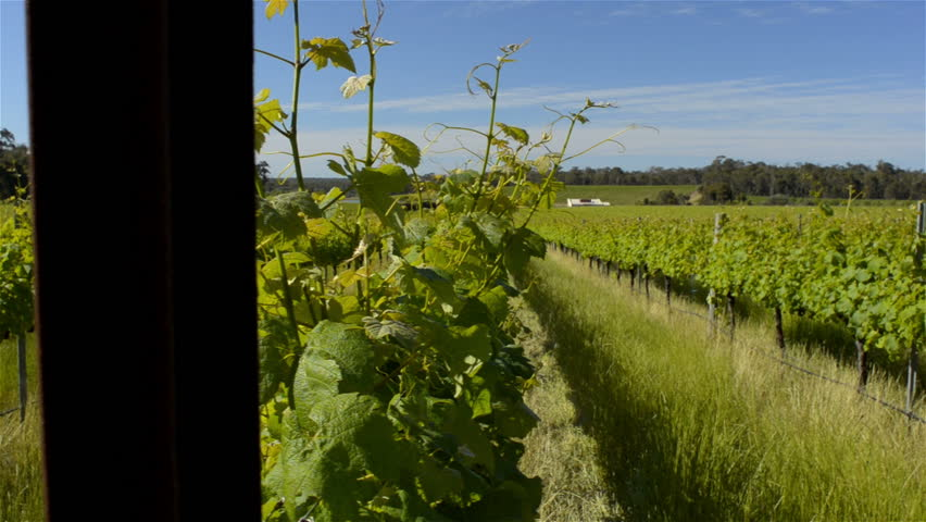 Looking down the rows of grapevines in a beautiful winery in South West Western Australia, between Margaret River and Dunsborough. Tracking shot.