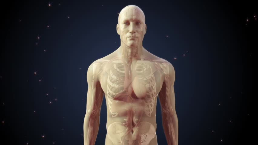 Semi transparent human man anatomical model showing interanal organs and body systems with zoom into brain and neuronal network conducting electrical impulses between synapses with night background  - HD stock video clip
