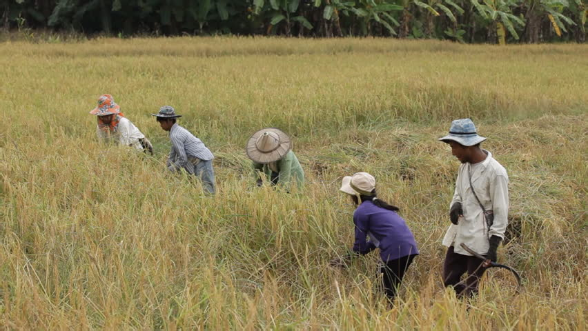 Asian farmers harvesting rice in field, Thailand