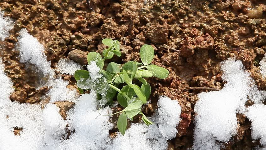 pisum sapling in the field with white snow