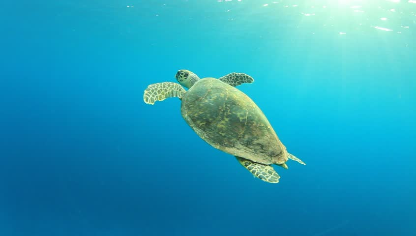 Hawksbill Sea Turtle swimming in blue water, comes up for air and then dives again - HD stock video clip