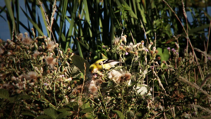 Header of American goldfinch