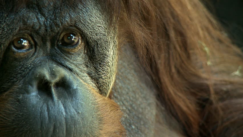Orangutan closeup - HD stock video clip