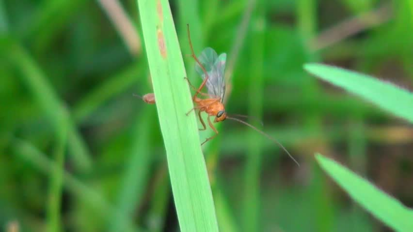 red fly sits on a blade of grass - HD stock footage clip