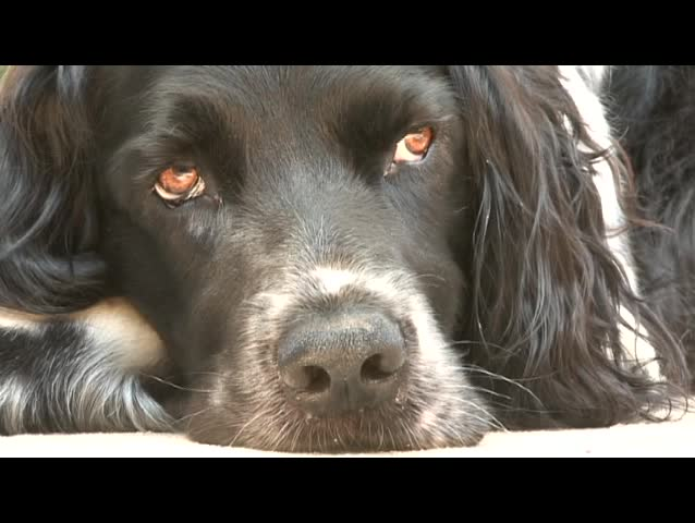 Sleepy dog - SD stock video clip