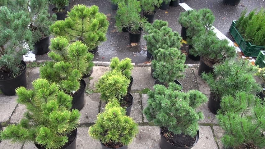 pine seedlings in autumn agriculture market - HD stock footage clip