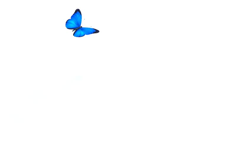 1080 HD animated butterfly with alpha matte. #3363347