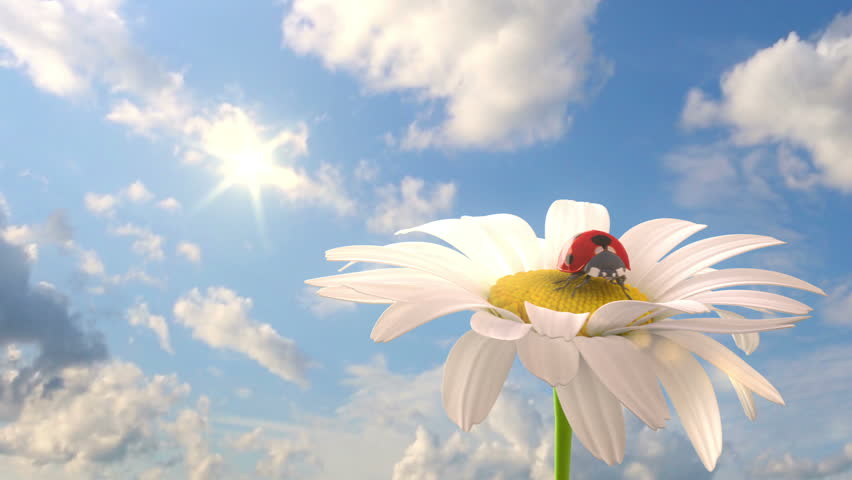 Grassy hill with chamomile and ladybird against the background of time-lapse heaven, beautiful 3d animation | Shutterstock HD Video #3379286