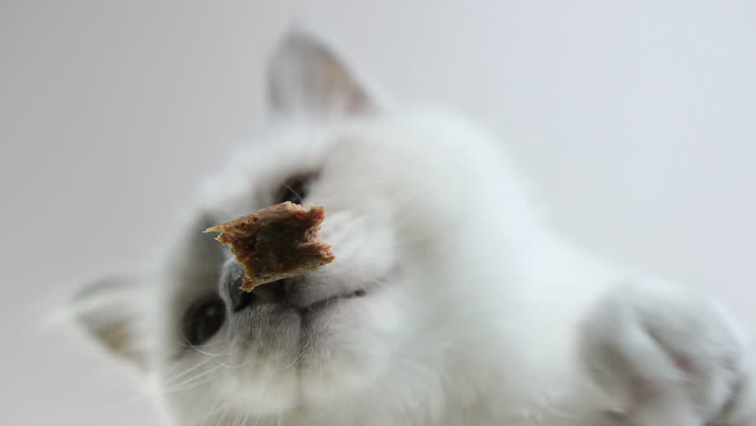 low angle view of adorable white Birman cat, looking at camera, eating a tasty cat stick - HD stock video clip