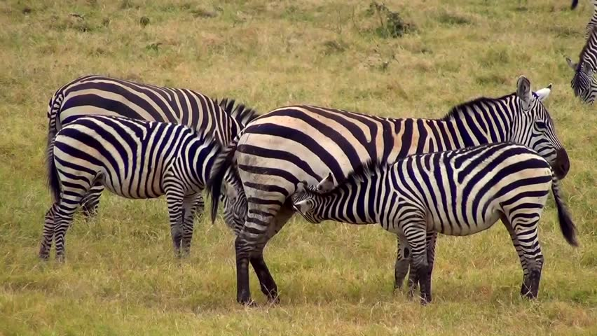 from Maximilian photos of woman fucking zebra
