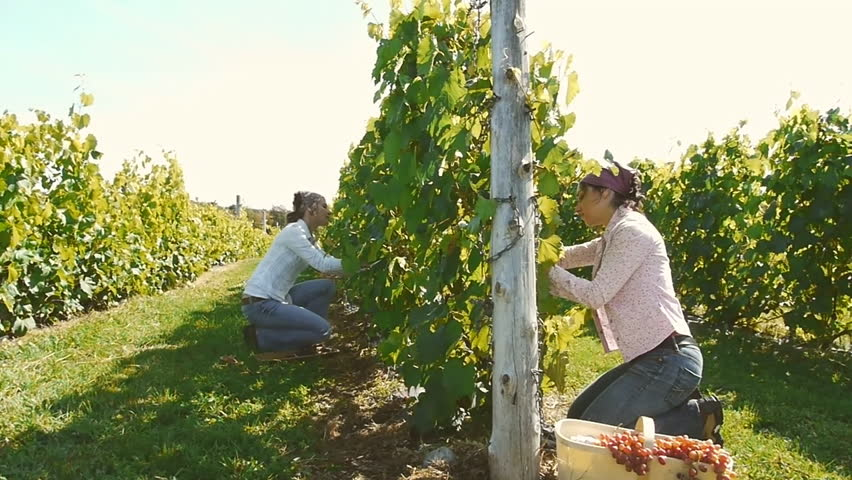 Two girls harvesting the grapes in a vineyard during grape harvest time _dolly_