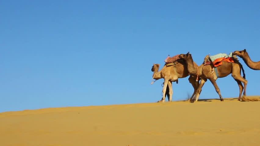 Desert Animals Camel Cameleers in Desert