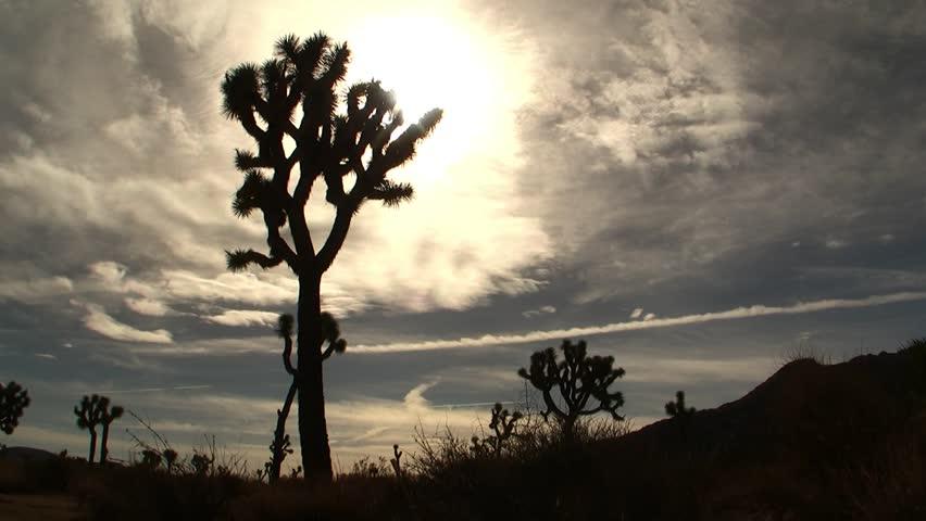Joshua Tree Time-Lapse - HD stock video clip