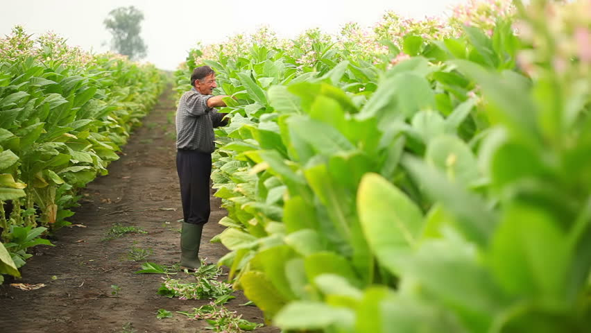 An old men picks the leaves of tobacco in a field - HD stock footage clip