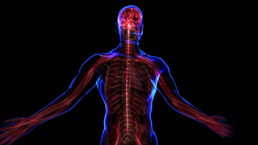 All human body systems. Nervous system highlight. Loop - HD stock video clip