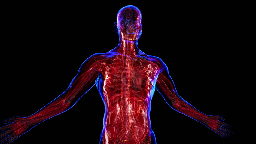 all human body systems. muscular system highlight. loop, Muscles