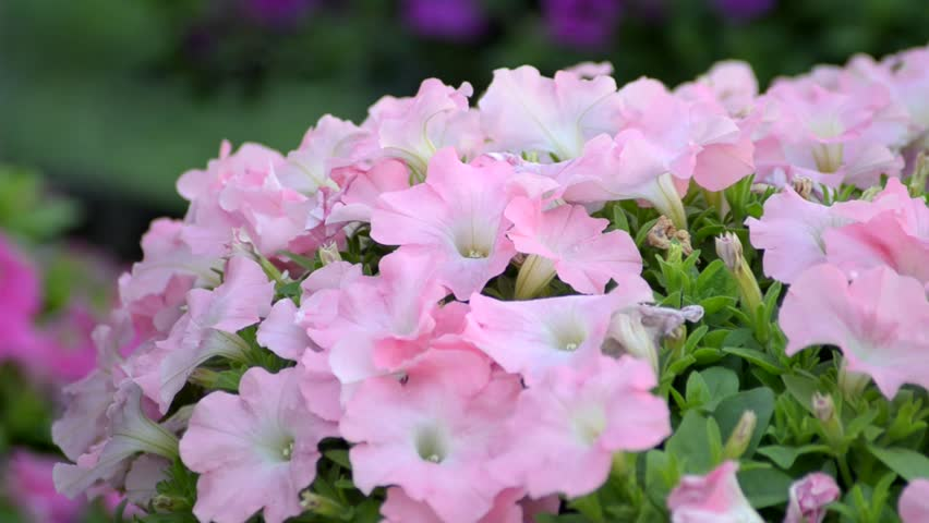 Petunia in the wind  - HD stock footage clip