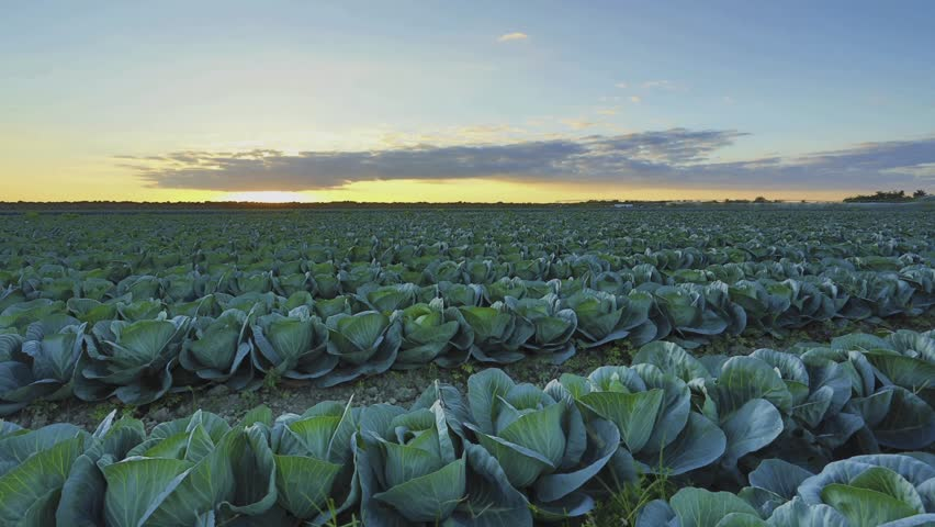 HDR time-lapse of a Cabbage farm at sunset flare sequence