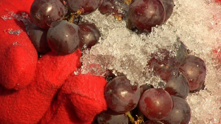 Woman Wearing Red Gloves Holding Ice Wine Grapes - HD stock video clip