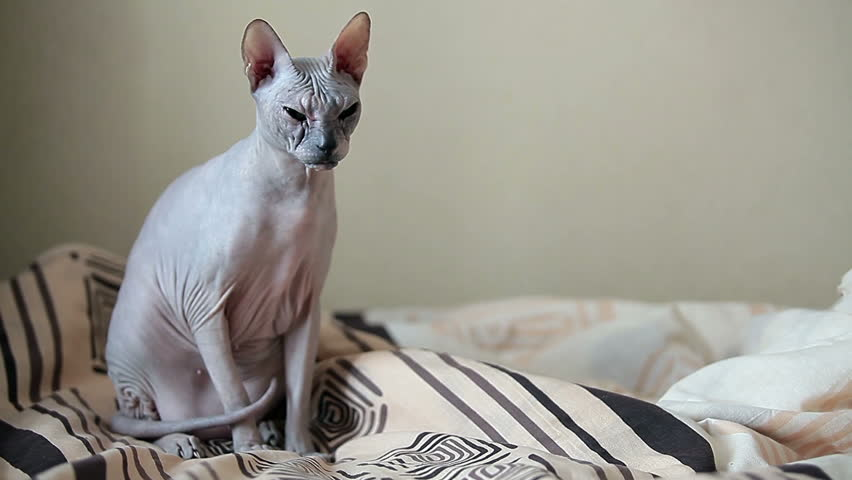 calm cat sphinx sitting on a bed in the bedroom copyspace hd stock