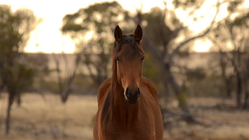 Portrait of a horse staring at the camera, it looks away then looks back at the camera. The horse is lit by the early morning sunlight on an Australian farm.