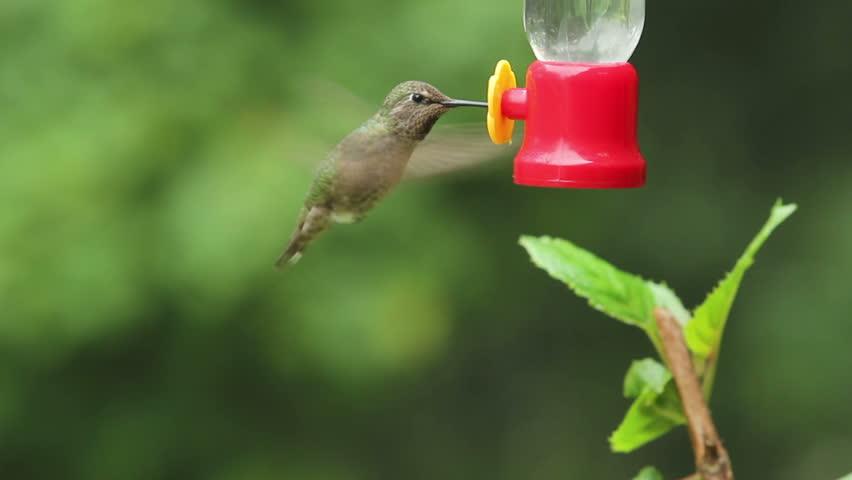 Anna's Hummingbird getting nectar from a bird feeder - HD stock video clip