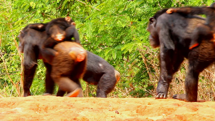 Chimpanzee sitting family in the nature. - HD stock footage clip
