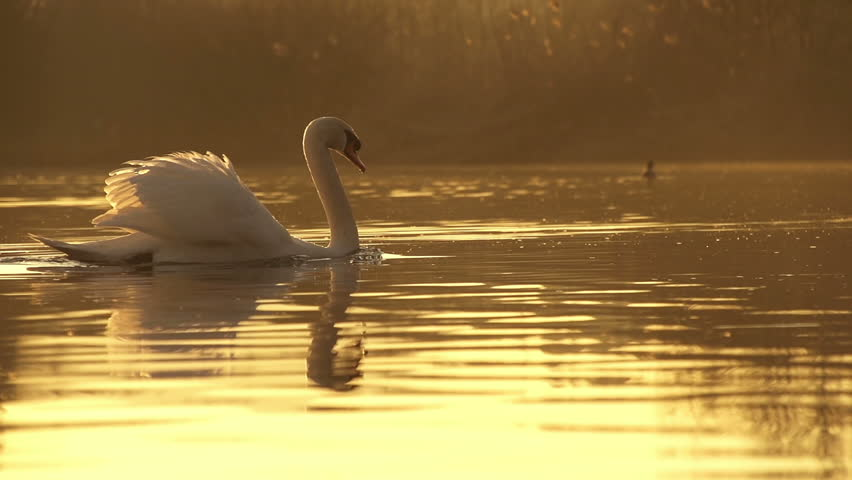 SLOW MOTION: Swan swimming in a lake - HD stock footage clip
