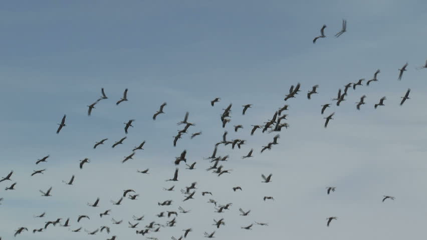 Birds, flock of sandhill cranes, fly through blue sky, create beautiful nature background. 1080p - HD stock footage clip