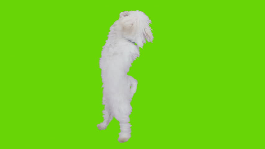 Dancing and jumping excited cute dog. Shot with red camera. Green screen ready to be keyed.  - HD stock video clip