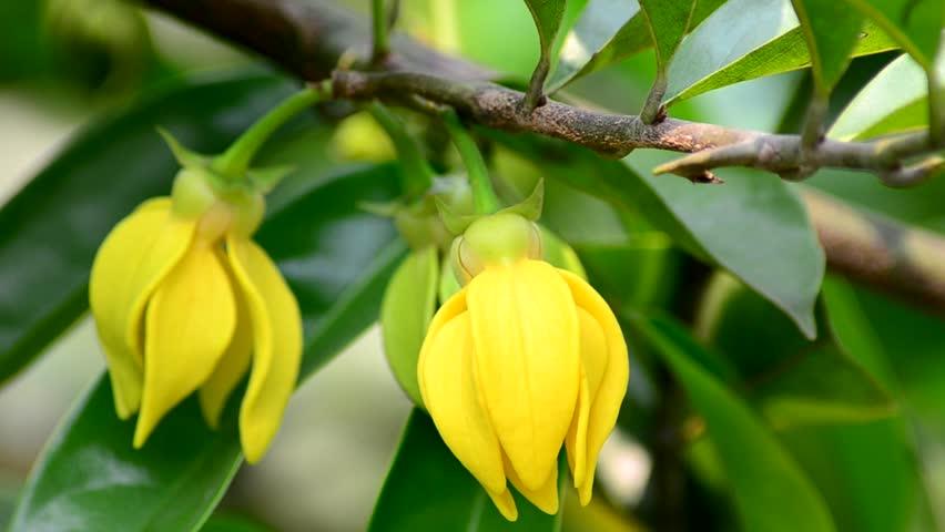 perfume tree ylang ylang flower stock footage video. Black Bedroom Furniture Sets. Home Design Ideas