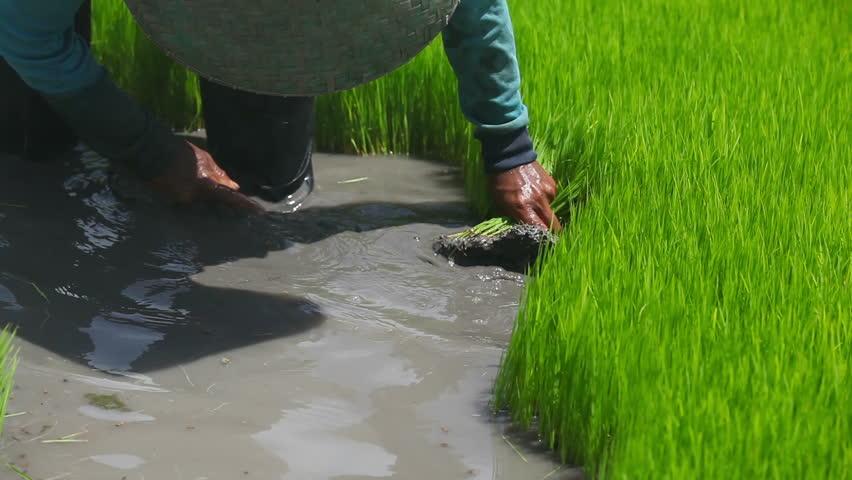Farmer working on rice field in Bali Indonesia